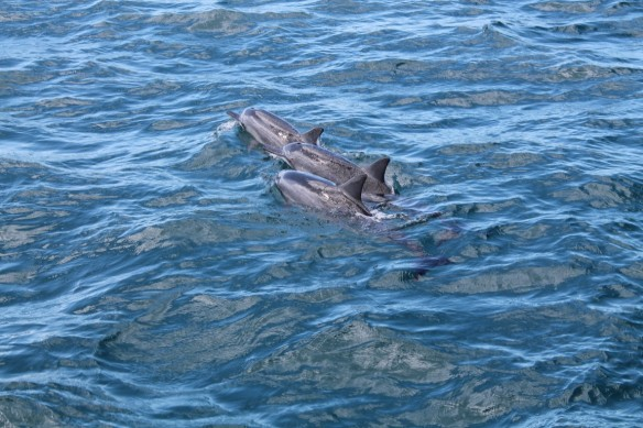 Wild Spinner Dolphins