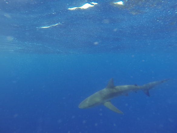 North Shore Shark Adventures