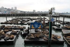 Barking Sea Lions on Pier 39