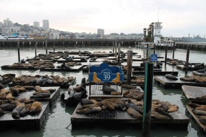 Barking Sea Lions on Pier 39