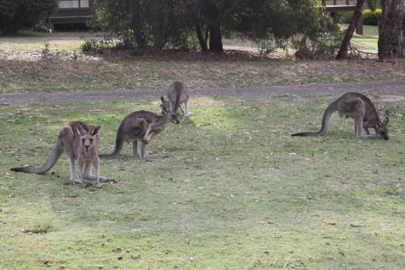 Kangaroos in Anglesea