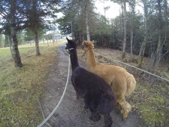 Dream Acres Alpacas